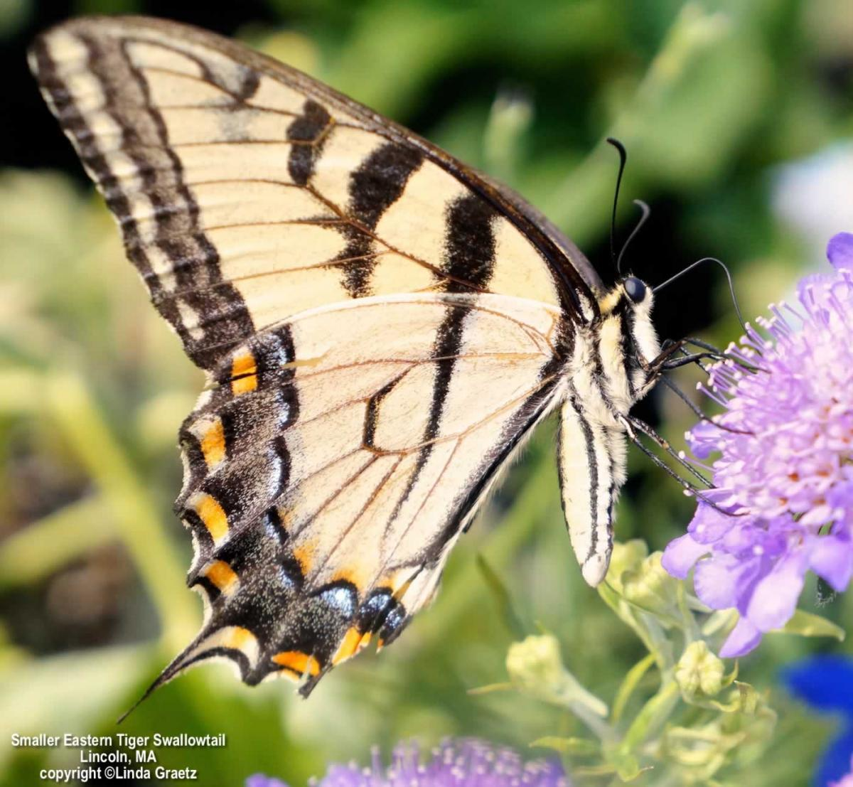 Eastern Tiger Swallowtail, Lincoln, MA Copyright Linda Graetz